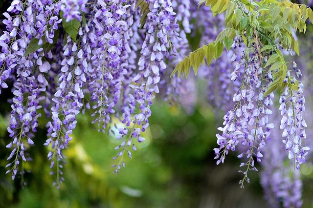 květy vistárie