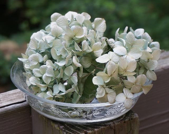 hortenzie v květináči